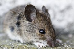Wood mouse Stock Photography
