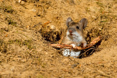Wood mouse. Apodemus sylvaticus, leaning on a root to the entrance of its hole Stock Image