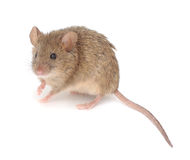 Wood mouse. Wood mouse on a white background stock photo