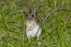 Wood Mouse. Or Long Tailed Field Mouse - Apodemus sylvaticus Stock Photos