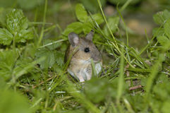 Wood Mouse Stock Image