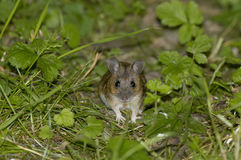Wood Mouse Royalty Free Stock Image