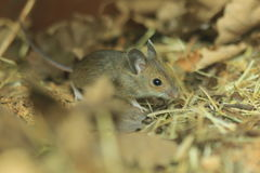 Wood mouse Stock Photos