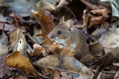 Wood Mouse (Apodemus Sylvaticus) Stock Images