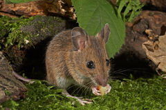 Wood Mouse - Apodemus sylvaticus Royalty Free Stock Image