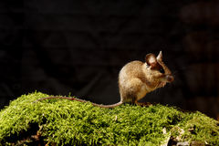 Wood mouse, Apodemus sylvaticus Royalty Free Stock Photography