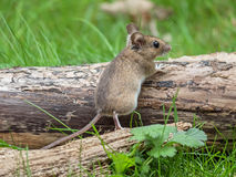 Wood mouse Apodemus sylvaticus. Scared mouse looks at the photographer Royalty Free Stock Photos