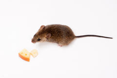 Wood mouse and cheese. Royalty Free Stock Photos