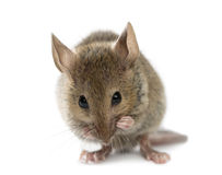 Free Wood Mouse Cleaning Itself Stock Photography - 60160262