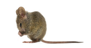 Wood mouse cleaning itself. In front of a white background royalty free stock image