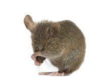Wood mouse cleaning itself. In front of a white background stock photo