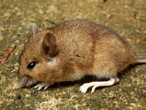 Wood Mouse Royalty Free Stock Photo