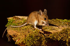 Wood Mouse eating Stock Image