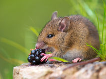 Wood mouse eating blackberry. Wild mouse eating blackberry on log Royalty Free Stock Photo