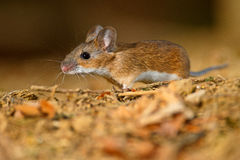 Wood Mouse foraging. Wood mouse, apodemus sylvaticus, in mid stance Royalty Free Stock Photos