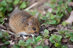 Wood Mouse. Royalty Free Stock Photography