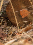 Wood Mouse in fornt of a log Stock Image