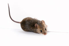 Wood mouse Stock Images
