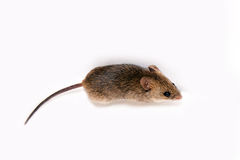 Wood mouse Royalty Free Stock Images