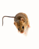 Wood mouse Royalty Free Stock Photos