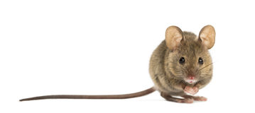 Wood mouse. In front of a white background