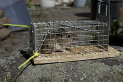Wood Mouse in live trap. Live trap with wood mouse (Apodemus Sylvaticus) sitting on a rock. Mouse will be released into the wild stock photography