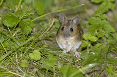 Wood Mouse or Long Tailed Field Mouse Royalty Free Stock Photo