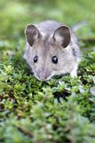 Wood mouse. The wood mouse lying in the grass Stock Images