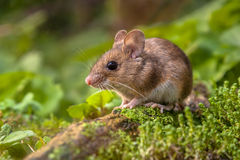 Wood mouse in natural habitat Royalty Free Stock Image