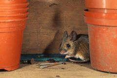Wood mus - Apodemussylvaticus Fotografering för Bildbyråer