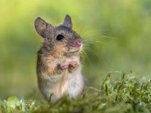 Wood mus för eregerat sammanträde i tiggeriposition fotografering för bildbyråer