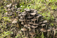 Wood mushroom fungi clusters. Growing near wooden log in forest meadow closeup Stock Photo