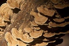 Wood mushroom Royalty Free Stock Images
