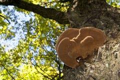 Wood mushroom on a maple trunk Stock Photography
