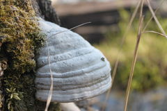 Wood mushroom. On a tree stump overgrown with moss Royalty Free Stock Photo