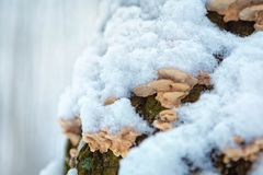 Wood mushroom on a tree trunk in a winter forest. place for text stock image