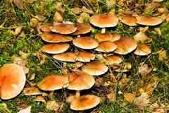 Wood mushrooms Stock Photography