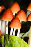 Wood mushrooms close up Royalty Free Stock Photos