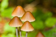 Wood mushrooms close up Royalty Free Stock Photography