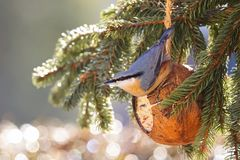 Wood Nuthatch bird on bird feeder in coconut Shell suet treats with Bokeh background. Winter food made of fat, sunflower seeds Sitta europaea royalty free stock image