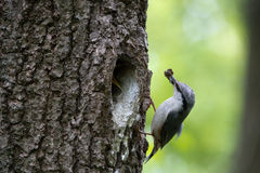 Wood nuthatch brought food for chicks in beak. Bird family takes care of nestlings and protects their nest in hollow of the oak Stock Photography