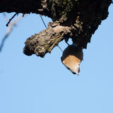 Wood nuthatch hanging upside down Stock Photos
