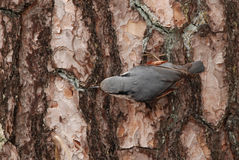 Wood Nuthatch Stock Image
