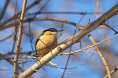 Wood Nuthatch, Sitta europaea Royalty Free Stock Photo