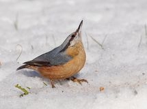 Wood nuthatch (Sitta europaea) in alarm mode - checking the sky for predators Stock Photo