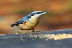 Wood Nuthatch Sitta europaea. Closeup on beautiful background Royalty Free Stock Images