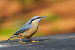Wood Nuthatch Sitta europaea. Closeup on beautiful background royalty free stock photo