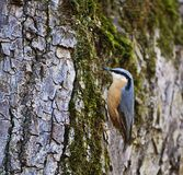 Wood nuthatch small passerine songbird on old tree. Cute wood nuthatch small passerine songbird bird of Europe, with a characteristic black eye-stripe, blue head Stock Images