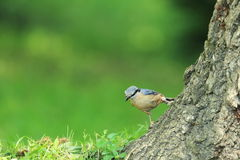 Wood nuthatch Stock Images