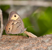Wood Nymph Butterfly resting Royalty Free Stock Photography